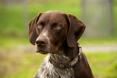 German Shorthaired Pointer (Canis familiaris) male