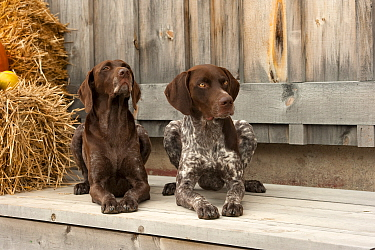 German Shorthaired Pointer (Canis familiaris) male and female