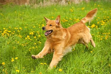 Golden Retriever (Canis familiaris) running