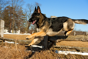 German Shepherd (Canis familiaris) jumping over fence