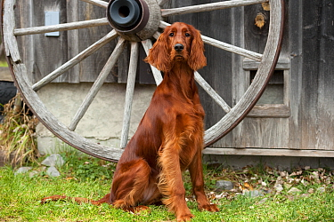 Irish Setter (Canis familiaris)