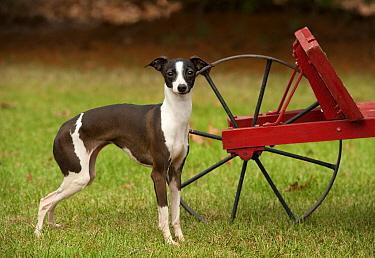 Italian Greyhound (Canis familiaris)