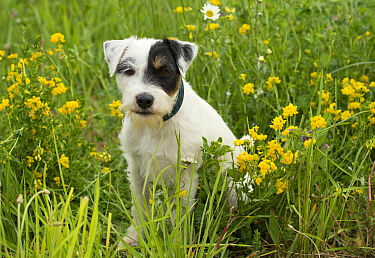 Jack Russell Terrier (Canis familiaris)
