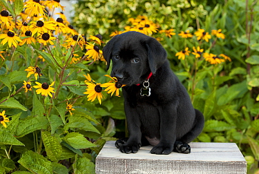 Black Labrador Retriever (Canis familiaris) puppy sniffing flower