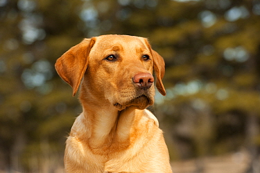 Yellow Labrador Retriever (Canis familiaris) male