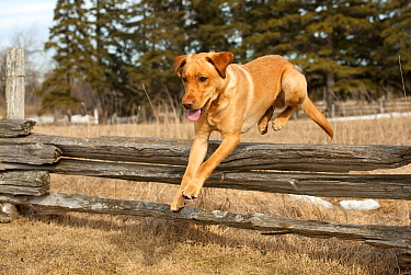 Yellow Labrador Retriever (Canis familiaris) male jumping over fence
