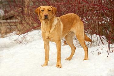 Yellow Labrador Retriever (Canis familiaris) male in snow