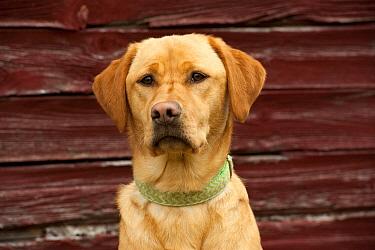 Yellow Labrador Retriever (Canis familiaris) female