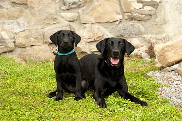 Black Labrador Retriever (Canis familiaris) parent and puppy