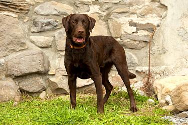 Chocolate Labrador Retriever (Canis familiaris) male