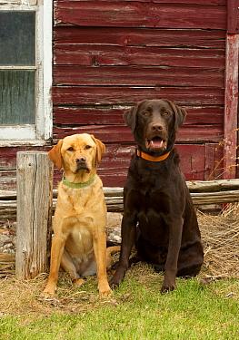Yellow Labrador Retriever female and Chocolate Labrador Retriever (Canis familiaris) male