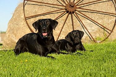 Black Labrador Retriever (Canis familiaris) mother and puppy