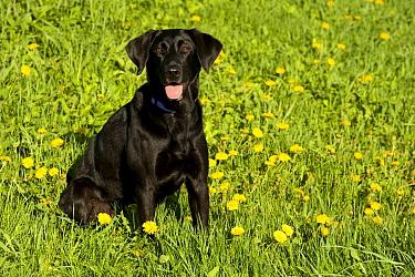 Black Labrador Retriever (Canis familiaris) female