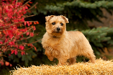 Norfolk Terrier (Canis familiaris) female