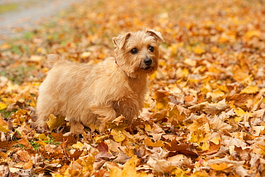 Norfolk Terrier (Canis familiaris) female amid fall leaves