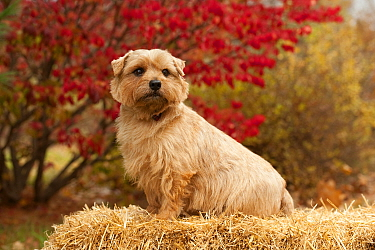 Norfolk Terrier (Canis familiaris) male