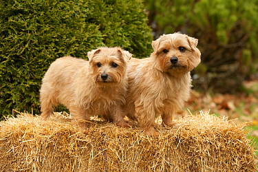 Norfolk Terrier (Canis familiaris) male and female