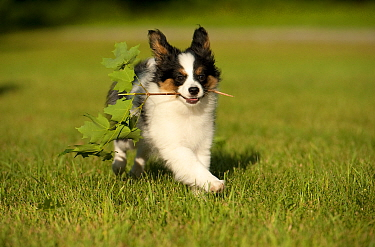 Papillon (Canis familiaris) puppy playing