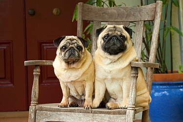 Pug (Canis familiaris) male and female sitting in chair