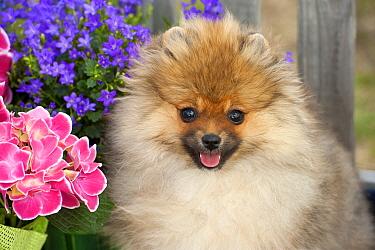 Pomeranian (Canis familiaris) puppy