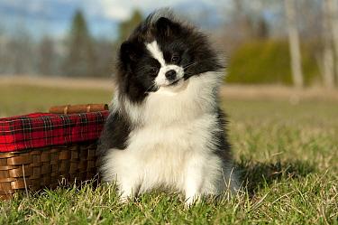 Pomeranian (Canis familiaris)