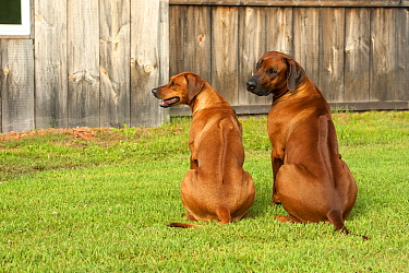 Rhodesian Ridgeback (Canis familiaris) male and female