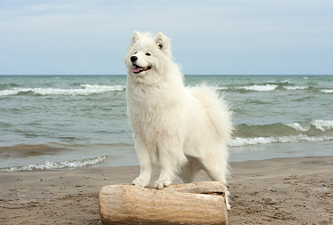 Samoyed (Canis familiaris) at the beach