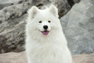 Samoyed (Canis familiaris)