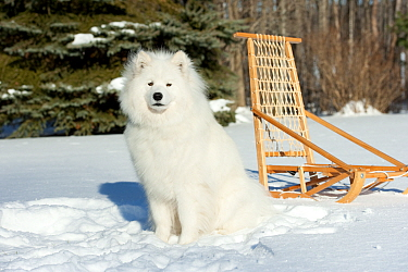 Samoyed (Canis familiaris) in snow