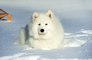 Samoyed (Canis familiaris) lying down in the snow