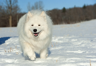 Samoyed (Canis familiaris) running in snow