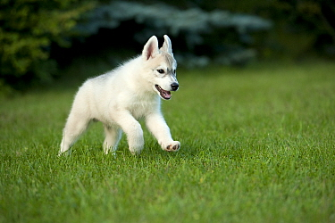 Siberian Husky (Canis familiaris) puppy running