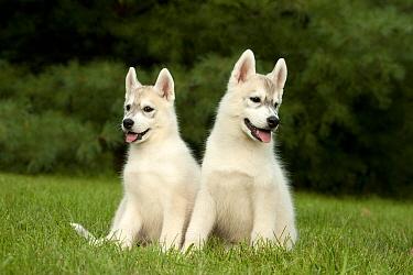 Siberian Husky (Canis familiaris) puppies