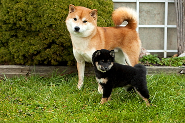 Shiba Inu (Canis familiaris) red parent and black and tan puppy