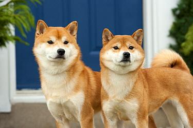 Shiba Inu (Canis familiaris) male and female