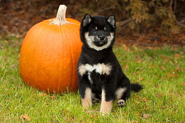 Shiba Inu (Canis familiaris) black and tan puppy with pumpkin