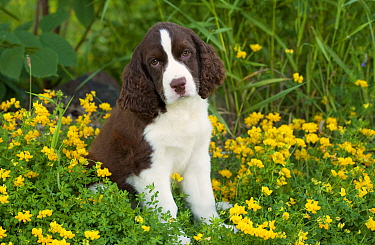 English Springer Spaniel (Canis familiaris) puppy