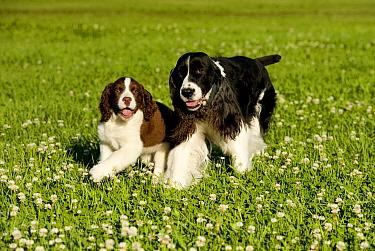 English Springer Spaniel (Canis familiaris) parent and puppy running