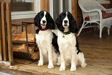 English Springer Spaniel (Canis familiaris) pair