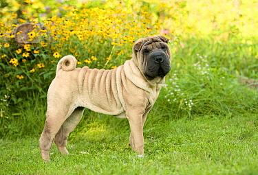 Shar Pei (Canis familiaris) puppy