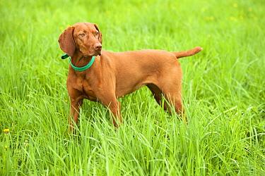 Vizsla (Canis familiaris)