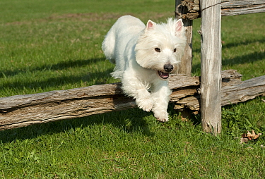 West Highland White Terrier (Canis familiaris) jumping fence