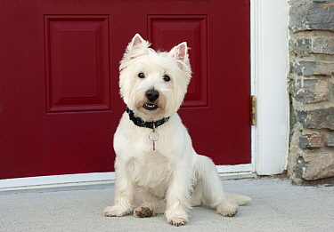 West Highland White Terrier (Canis familiaris)