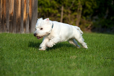 West Highland White Terrier (Canis familiaris) running