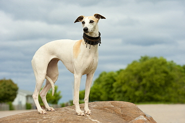 Whippet (Canis familiaris) with beaded collar