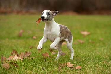 Whippet (Canis familiaris) puppy running with leaf