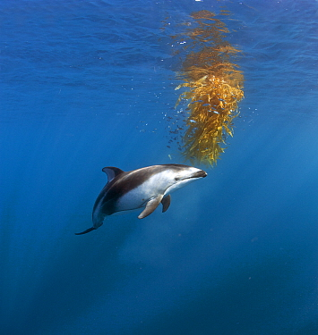Pacific White-sided Dolphin (Lagenorhynchus obliquidens) investigating floating Giant Kelp (Macrocystis pyrifera) with school of juvenile fish, open ocean off San Diego, California