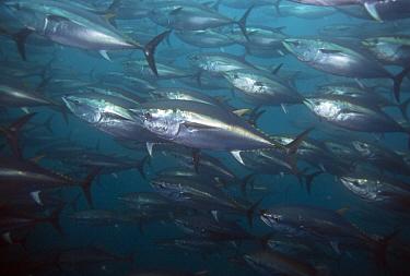 Pacific Bluefin Tuna (Thunnus orientalis) school,vulnerable, Baja California, Mexico