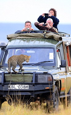 Leopard (Panthera pardus) cub on safari vehicle with tourists, Masai Mara, Kenya