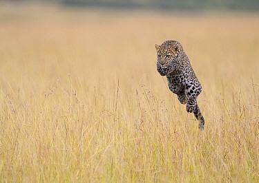 Leopard (Panthera pardus) sub-adult male jumping in savanna, Masai Mara, Kenya